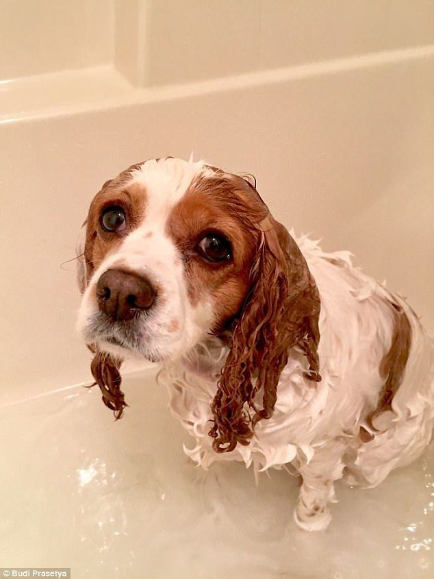 Why did you do this? A sad-looking dog looks straight into the camera after a bath