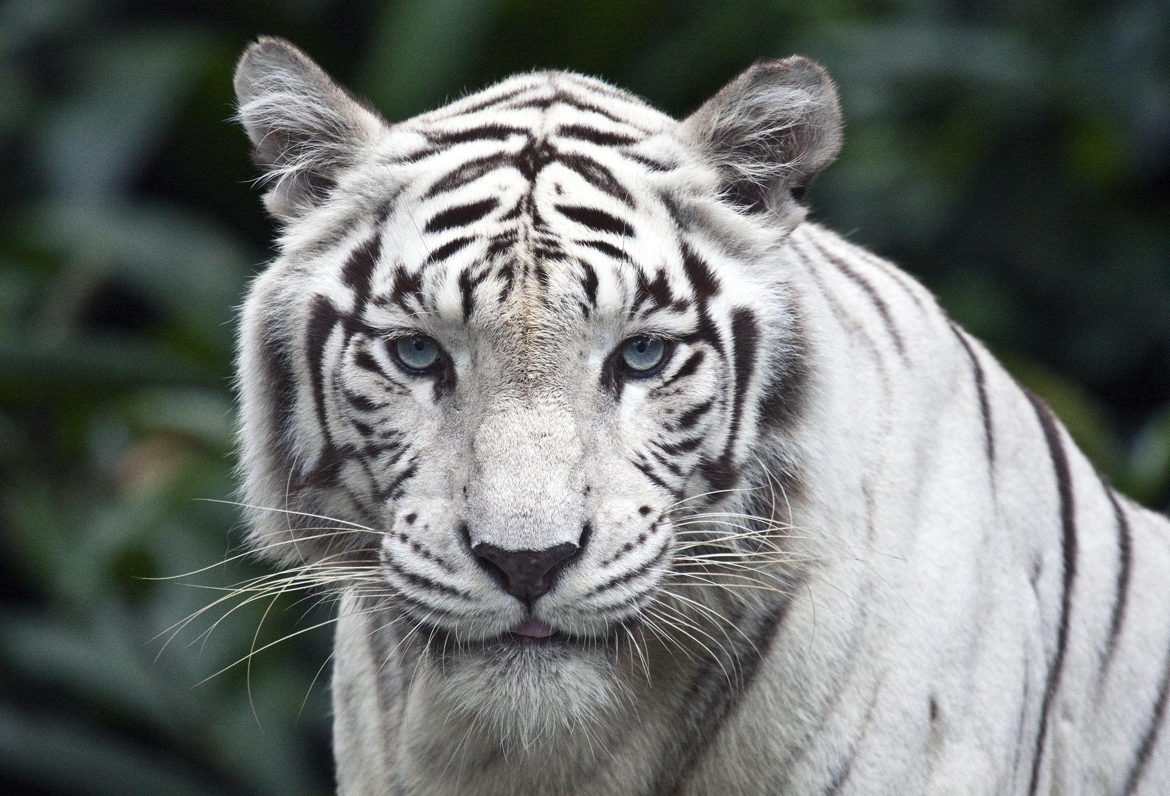 Tigre Branco fauna felino lindo animal natureza