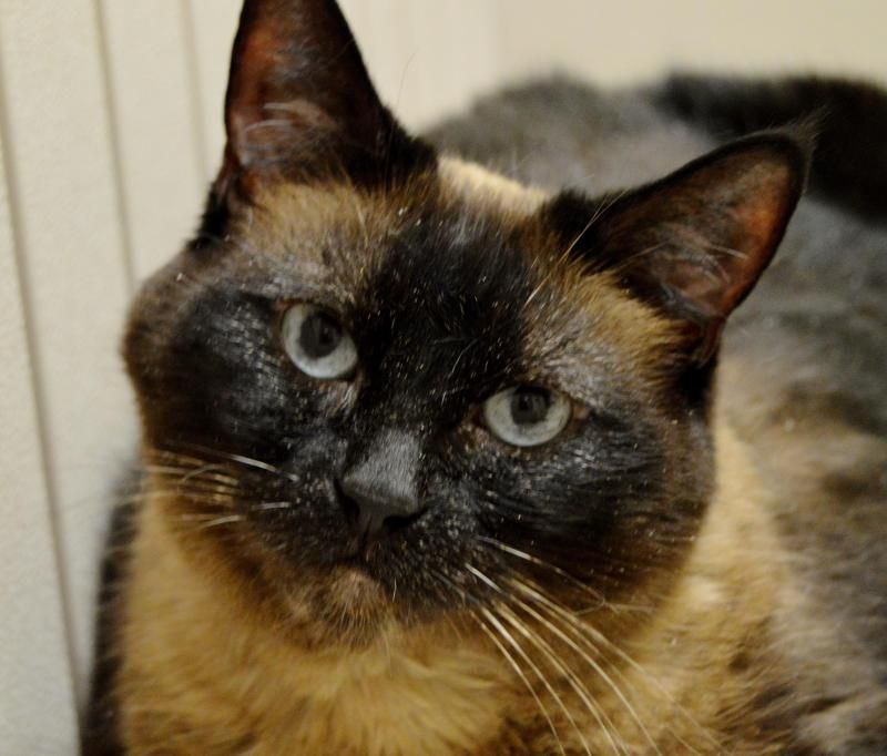 Adopt Mitzi on Cats, kittens, Siamese cats, Cats