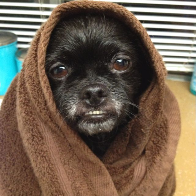 Raven looks like an Ewok after bath time.