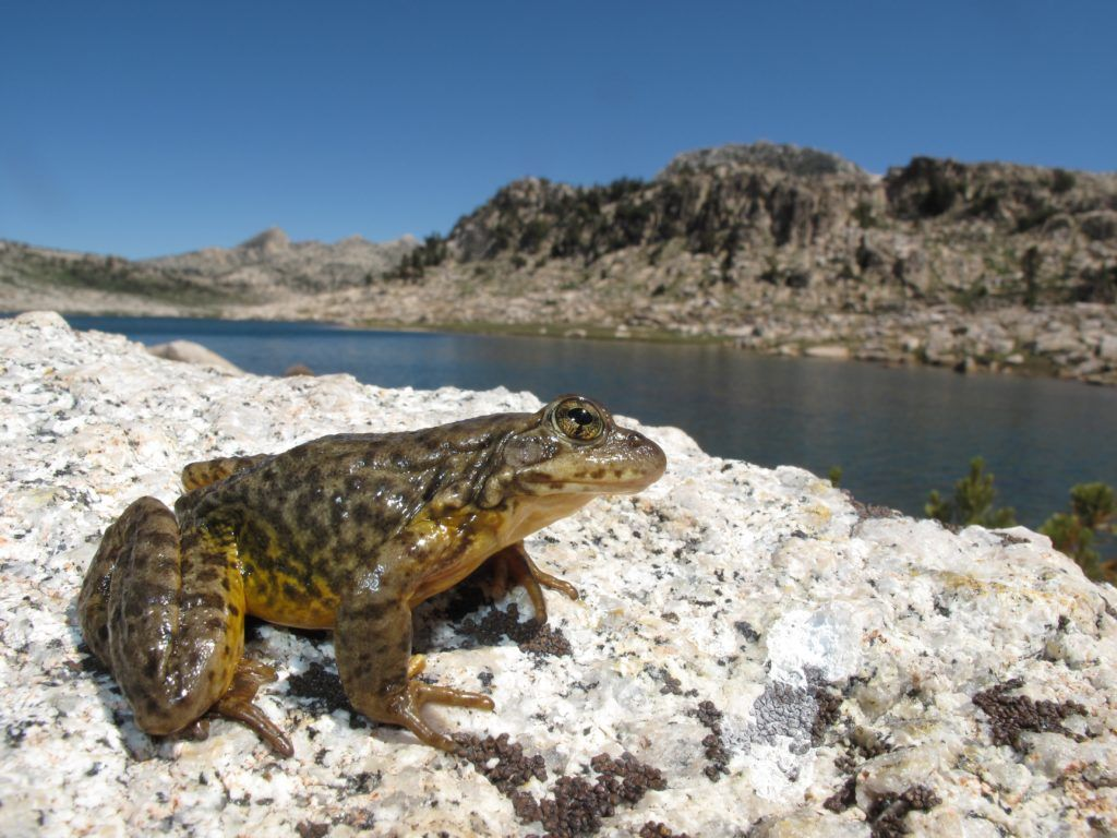 Success: Endangered Yellow-Legged Frog Recovers