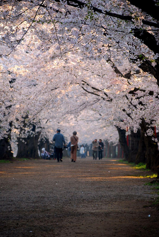 Cherry Blossom in Hirosaki castle park in Aomori,Japan.