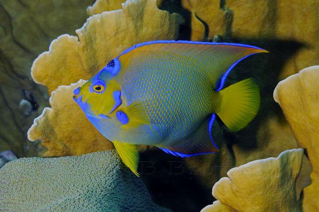 Baby Queen Angelfish Angel Fish Fish Pet Baby Queen