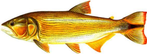 Pez Dorado Rio Busqueda De Google Pez Dorado Fotos De Pesca Peces De Rio