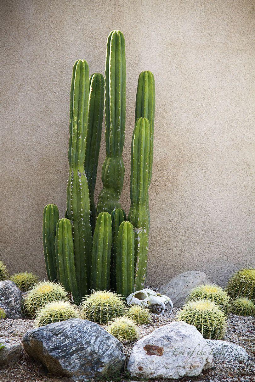 #Echinopsispachanoi #SanPedroCactus #cactus #succulents