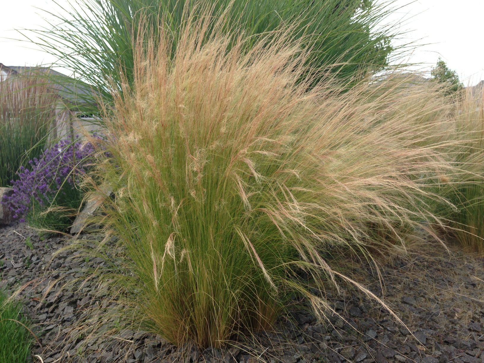 Ornamental Grasses Update Your Curb Appeal With Just One Plant The Garden Glove Ornamental Grasses Drought Tolerant Garden Grass