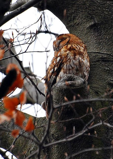 "flowerling: "" Tawny Owl by Markho2 """