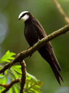 White-headed Saw-wing or White-headed Rough-winged Swallow - sub-Saharan Africa