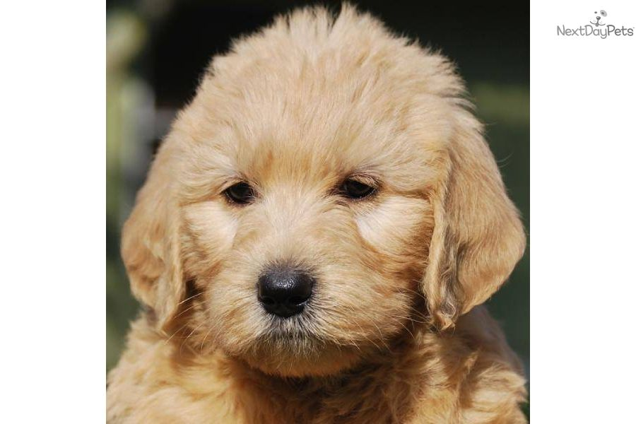 Labradoodle Shed Puppy Coat Labradoodle Puppy For Sale Near West
