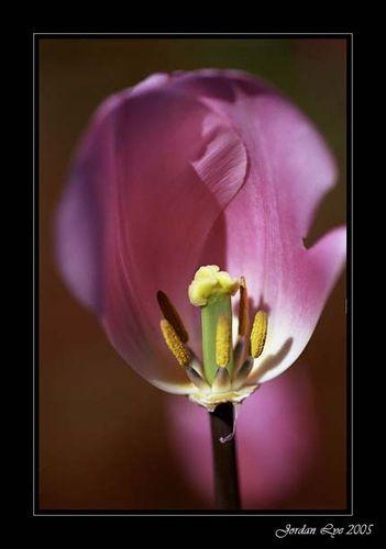Tulip | Flickr – Condivisione di foto!