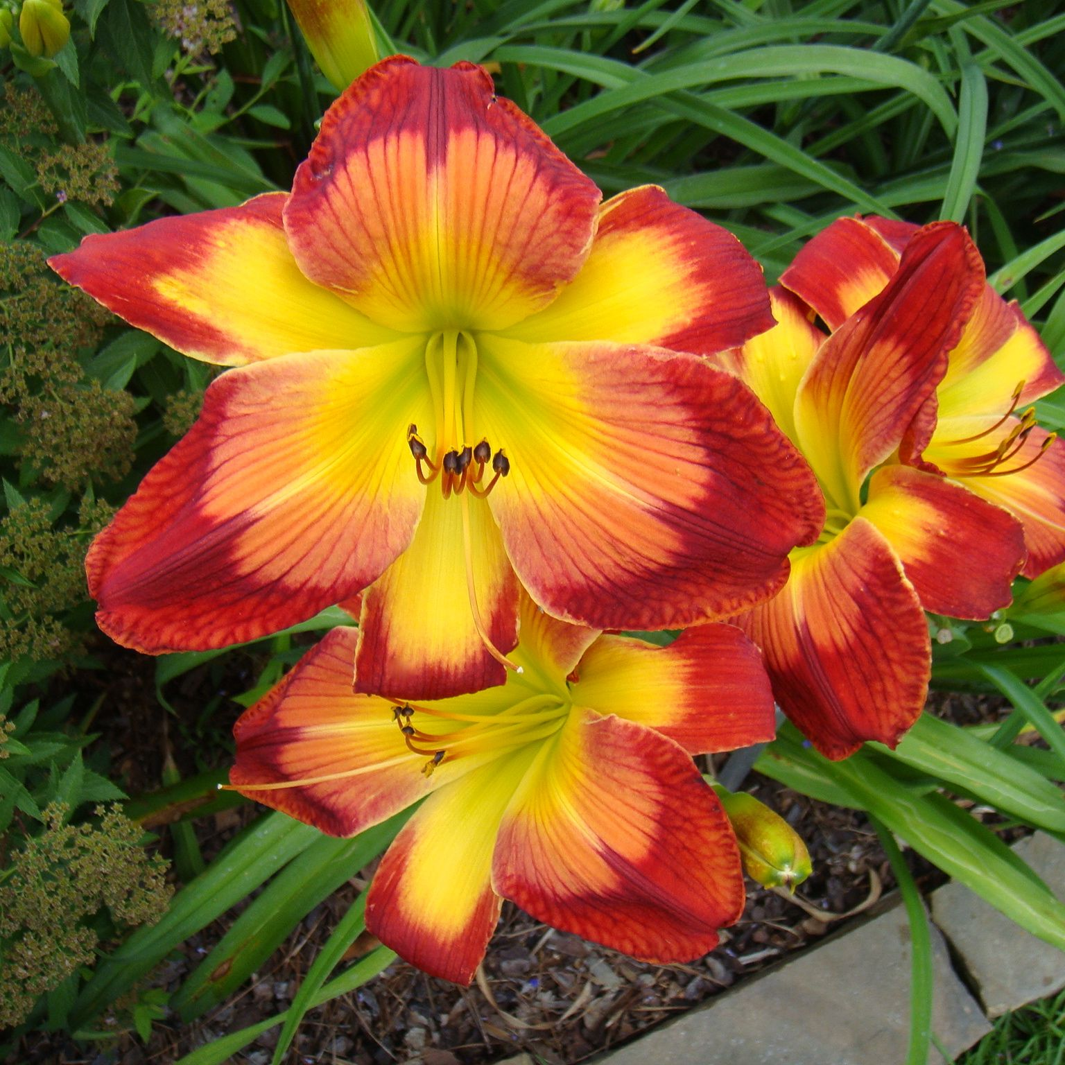 WISPY RAYS - DAYLILY. Always popular both in the display and sales garden. Limited supply this year. When it starts blooming it quickly sells out. A very distinctive daylily from a famous GA hybridizer. #daylily
