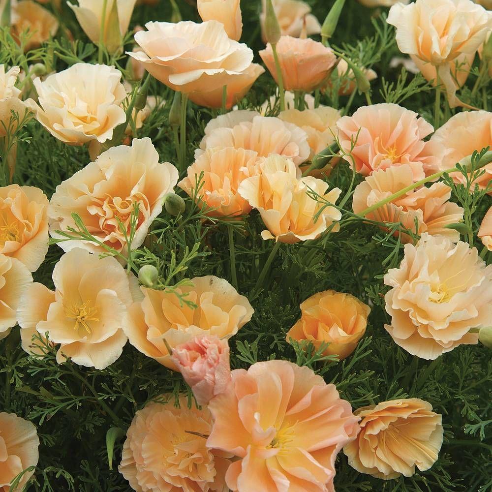 25cm Full sun. Californian Poppy 'Peach Sorbet' seeds