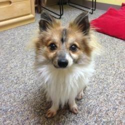 Adopt Lupa On Petfinder Animals Friends Papillon Dog Baby Animals