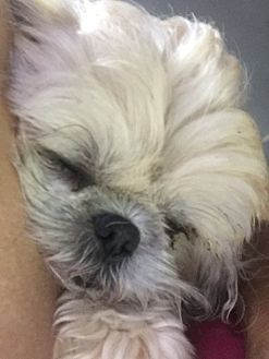 Pictures Of Jackson Nj Bella A Shih Tzu For Adoption In New Jersey Nj Who Needs A Loving Home Shih Tzu Mix Kitten Adoption Pets