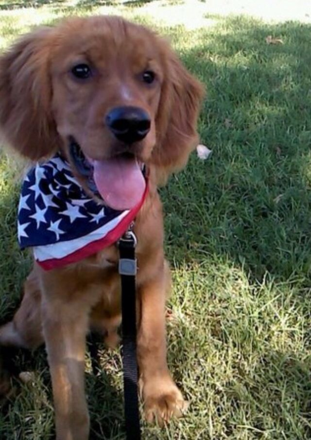 Golden Retriever Cocker Spaniel Mix Aka Miniature Golden