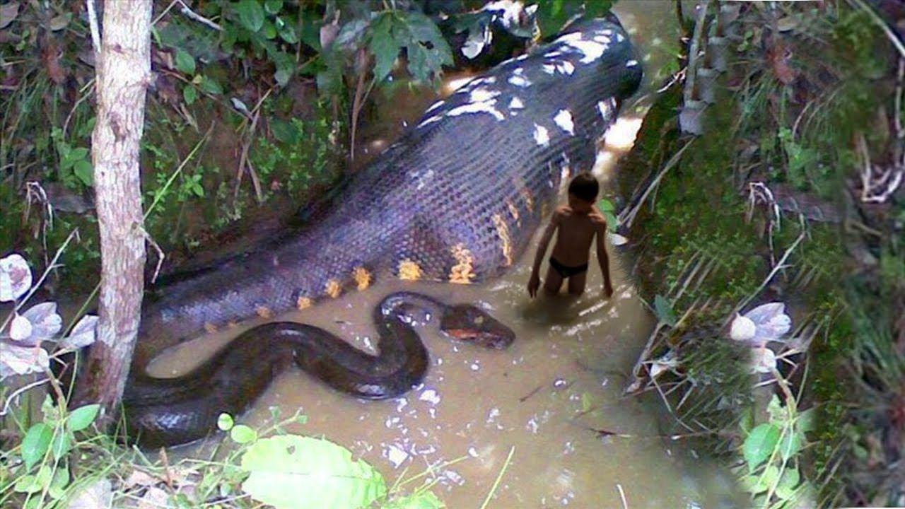 Animal Discover Snake In The World Snake War World Biggest Snake Deadly Animals Giant Anaconda