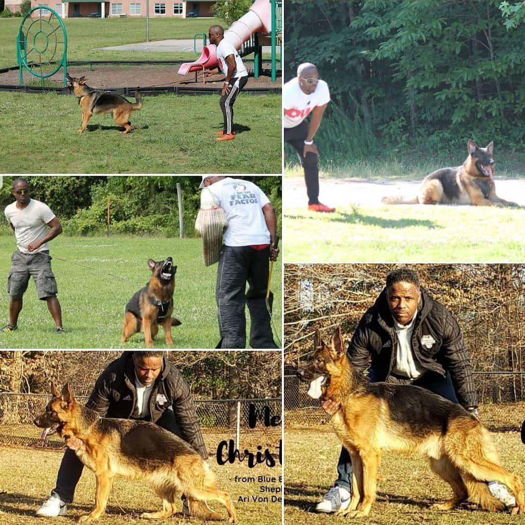 Love me some schutzhunds to Quando Gero Lola Ari and Adonis