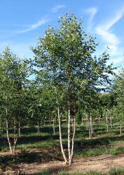 Betula Nigra Bnmtf Dura Heat R River Birch 2 Trunk From