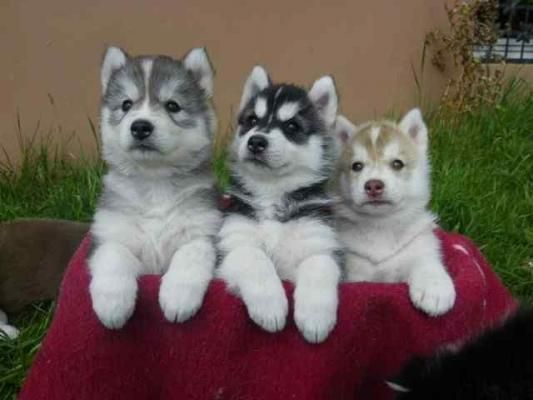 Siberian Husky Puppies Sale Denver Petzlover 108913 Husky