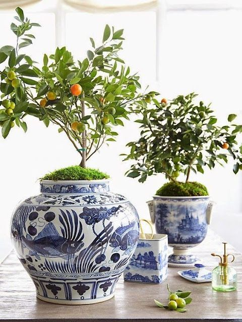 the old world charm of potted citrus trees      indoors and out