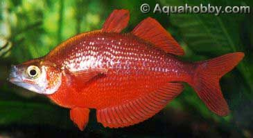 Red Rainbowfish Glossolepis Incisus Tropical Fish Pictures Fish Aquarium Fish