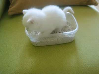 Teeny Kitty In The World S Smallest Litter Box Probably Could Clean It With A Teaspoon Kittens Kittens Cutest Cute Cats