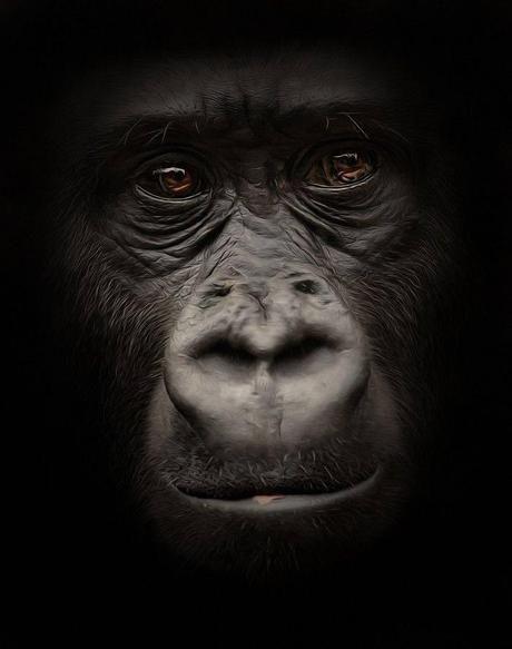 Tableau gorille noir et blanc 7 8d527ede346e0d0bd6366e198a6b6fe1