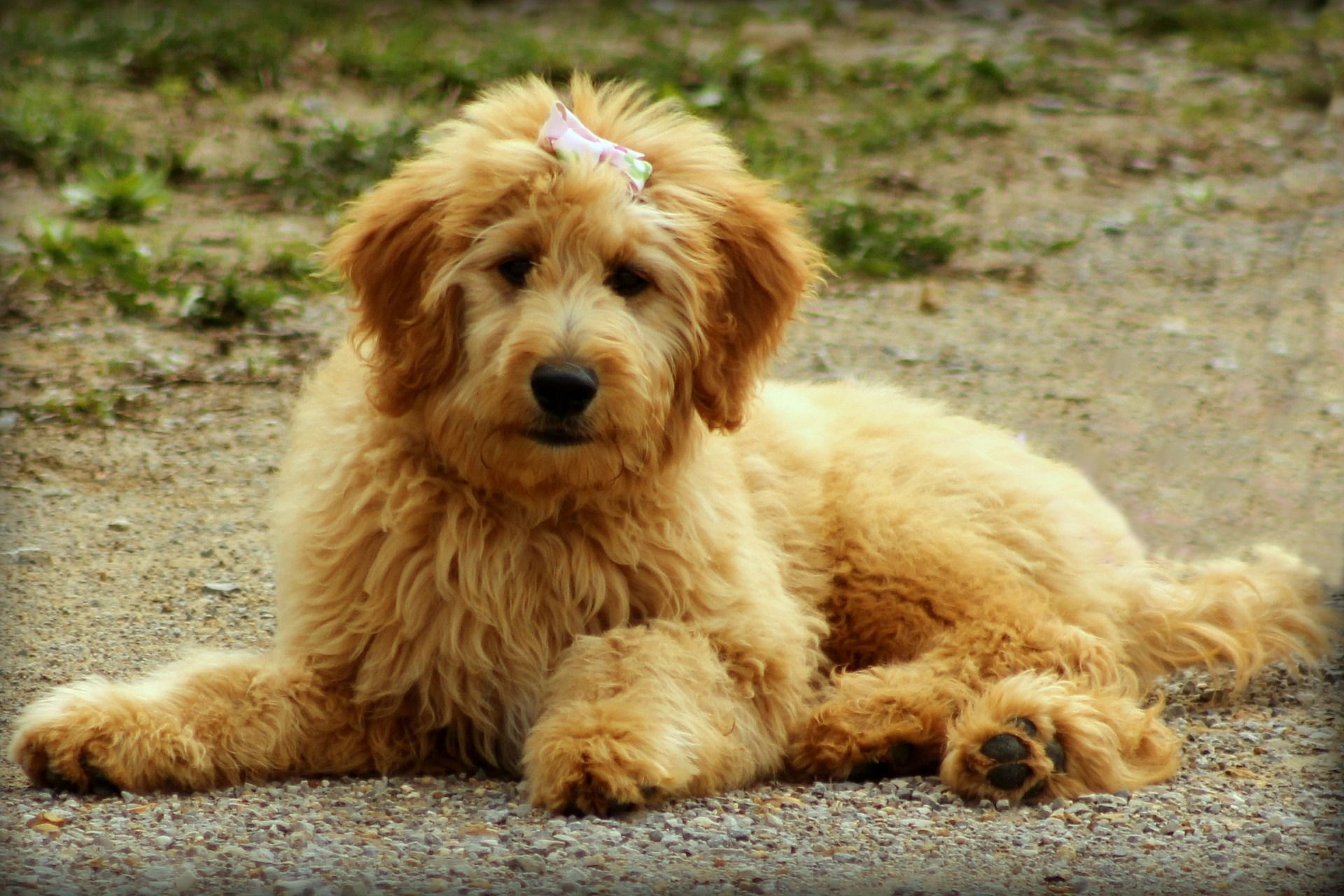 Learn More About The Labradoodle Dreamydoodles Com Labradoodle