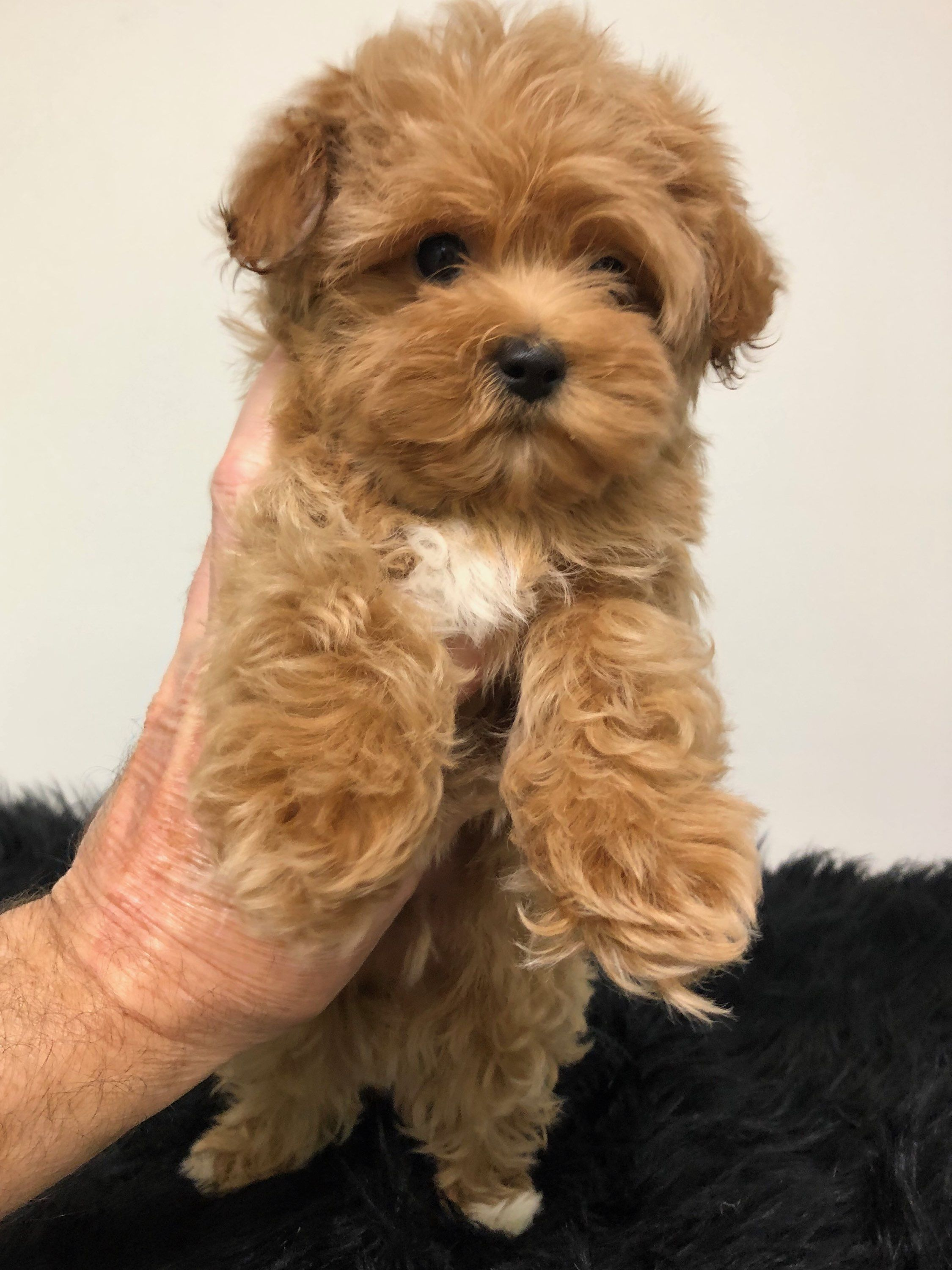 Designer And Mix Puppies Morkies Maltipoos Red Maltipoos Yorkshire Terrier Shih Tzu Havanese Toy And Teacup Poodl Yorkie Poo Yorkie Poo Puppies Shih Poo