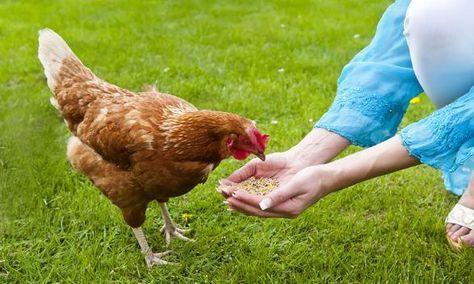 10 aliments interdits aux poules poules backyard chicken coops chickens backyard et. Black Bedroom Furniture Sets. Home Design Ideas