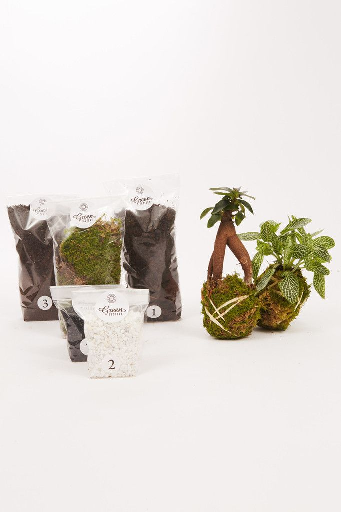 Kit terrarium humide Ficus et Fittonia vert - Terrarium humide Green