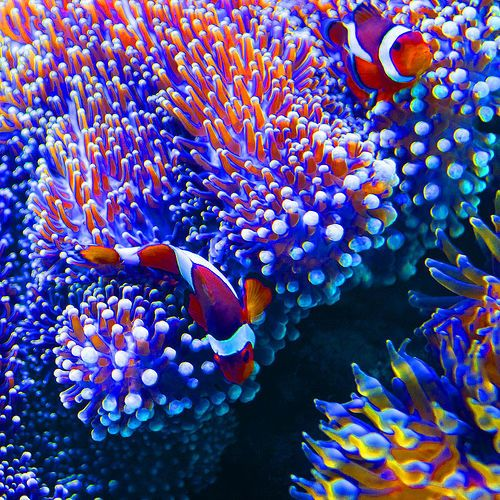 Hawaii 5 clown fish and a story hawaii fish and for Hawaii reef fish