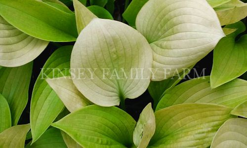 World Cup Hosta Giant Drinking Cup Hosta Deeply Cupped Yellow Gold Leaves