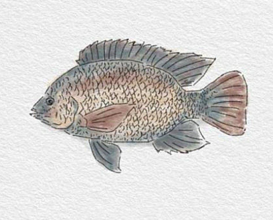 Tilapia (ปลานิล) 9.0 ปลา