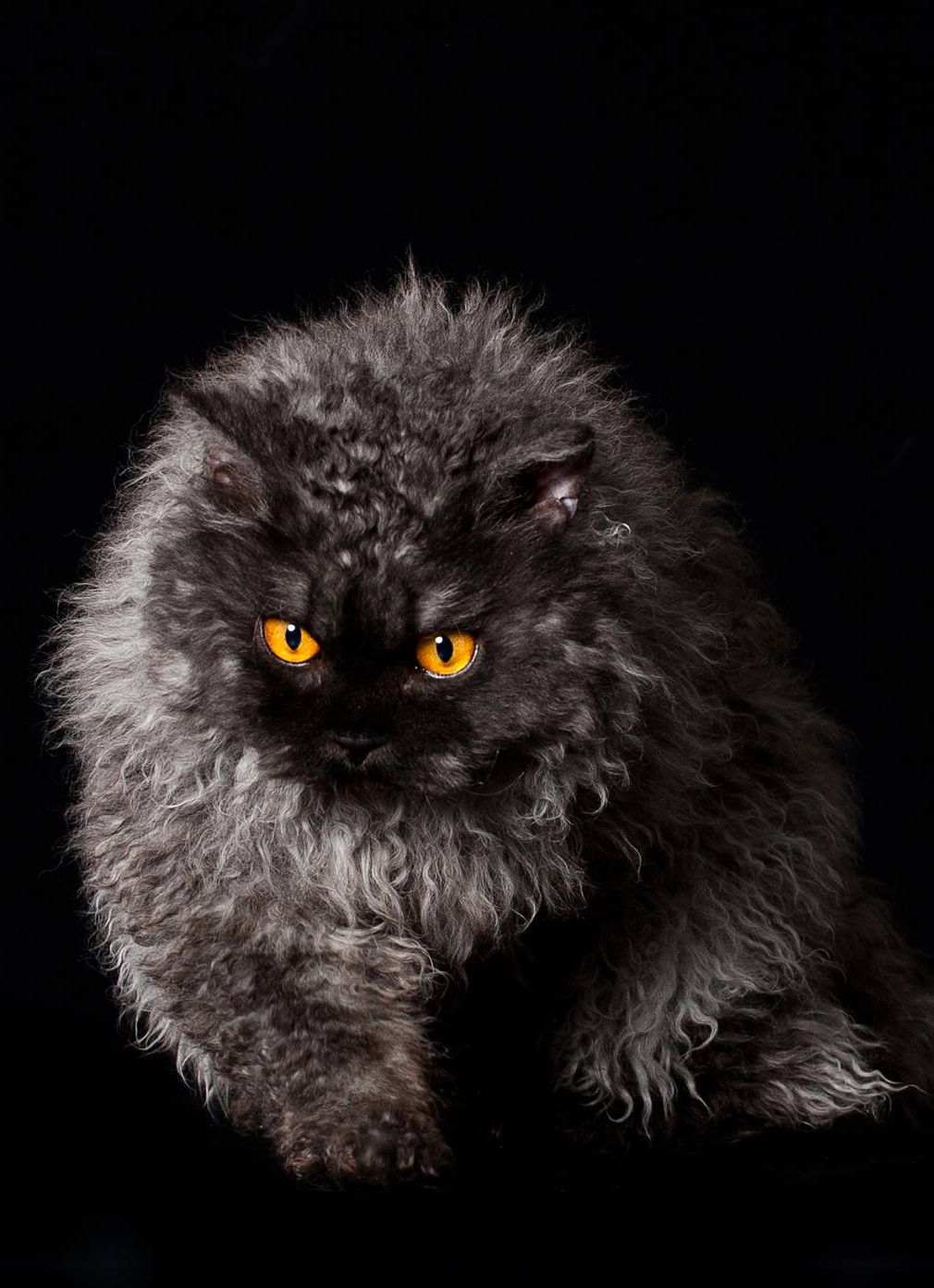 Selkirk Rex Longhair One Of The Newest Natural Breeds