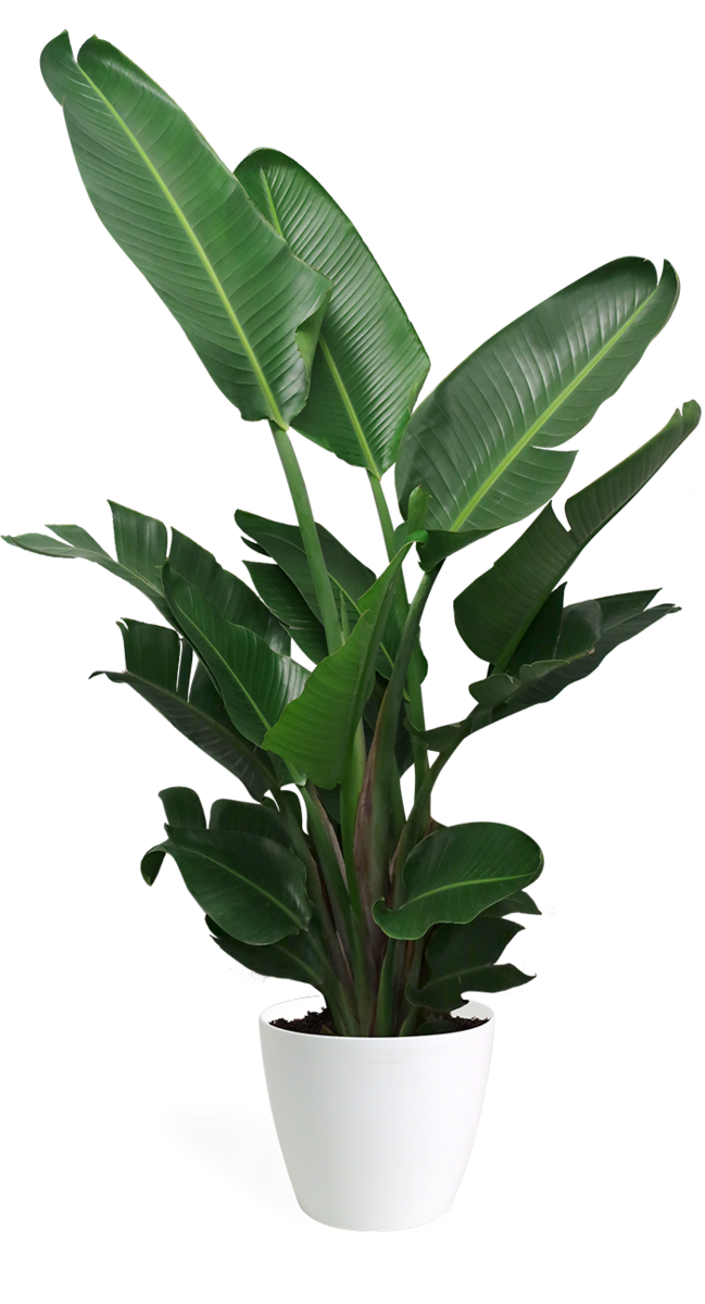 We Love This Plant For It S Big Dramatic Tropical Leaves If You Have A Bright Space Then The Bird Of Bathroom Plants Birds Of Paradise Plant Paradise Plant