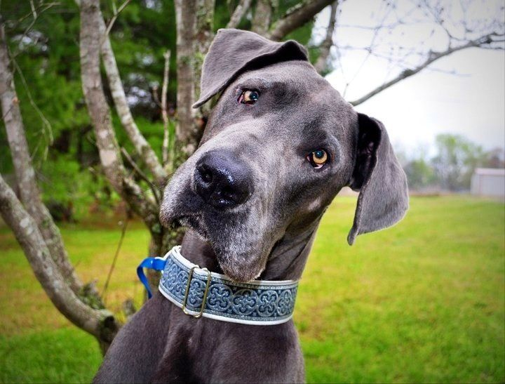My Baby Blue Great Dane Bander Named For The Bandersnatch In