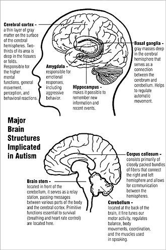 Two diagrams of major brain structures implicated in autism. The ...
