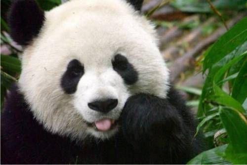 Unduh 61+ Gambar Anak Panda Paling Bagus Gratis