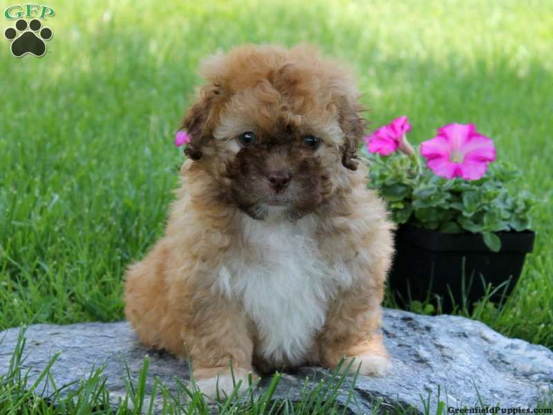 Lucy Shichon Puppy For Sale From Holtwood Pa What I Like