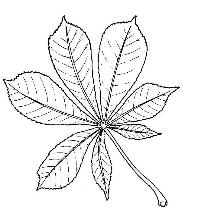 Drawing Of Horse Chestnut Leaf Kastanie Blatt Zeichnungen