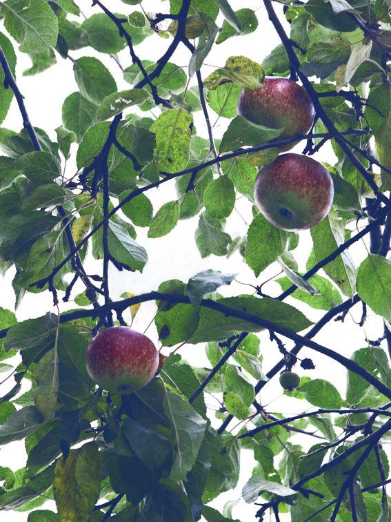 Chris Tonnesen: Gathering apples