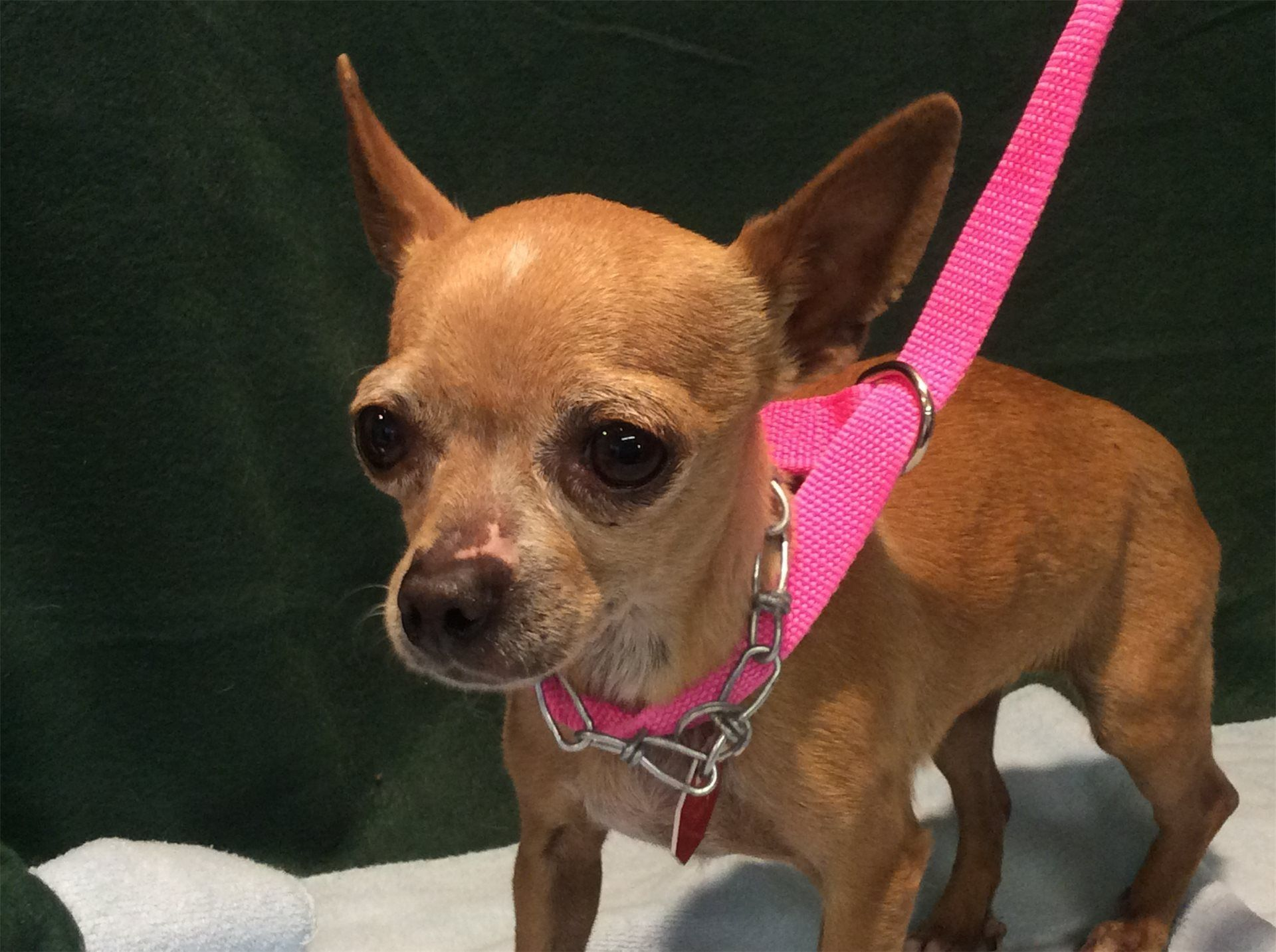 Chihuahua dog for Adoption in pomona, CA. ADN483481 on
