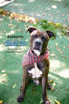 Bullboxer Pit dog for Adoption in Kansas City, MO. ADN