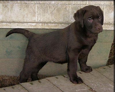 Cute Labrador Puppy Cute Labrador Puppies Labrador Puppy English Lab Puppies