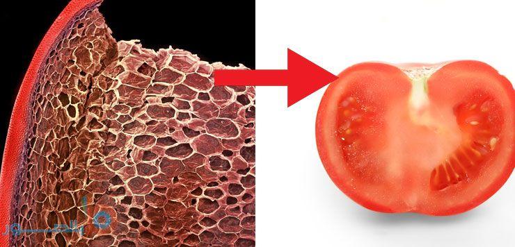 صور تحت المجهر للطماطم