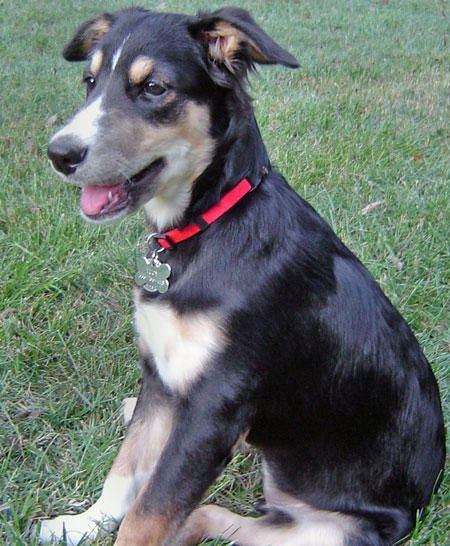 Smooth Collie Dog Photo Lucy The Smooth Collie Mix Puppies