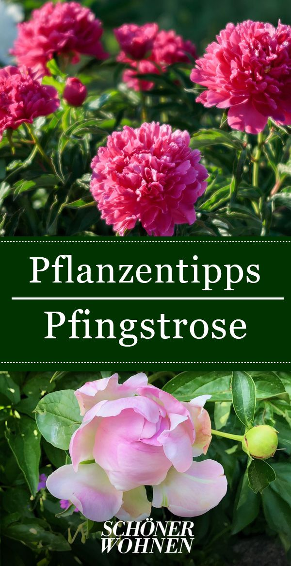 Pfingstrosen – pflanzen, pflegen, Standort