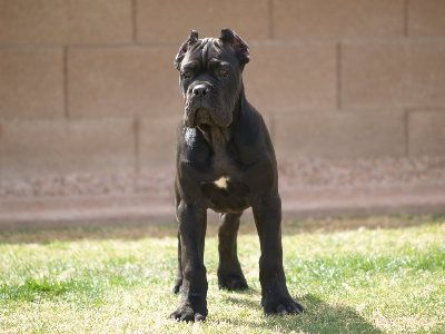 Great Dane Bullmastiff Mix Working Pitbull Mastiff Cross