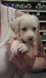 Emma Is An Adoptable Maltese Dog In Apache Junction Az Save
